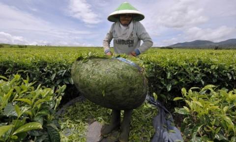 Kementan: Baru 15 Komoditas Perkebunan Sumbang PDB