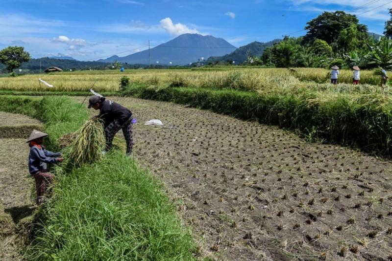 Petani menggarap lahan pascapanen dengan latar belakang Gunung Agung yang menghembuskan asap disertai abu vulkanis di Sidemen, Karangasem, Bali. (FOTO: Antara/Hafidz Mubarak)