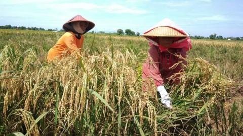 Bantuan Kementan Bikin Panen di Subang Optimal