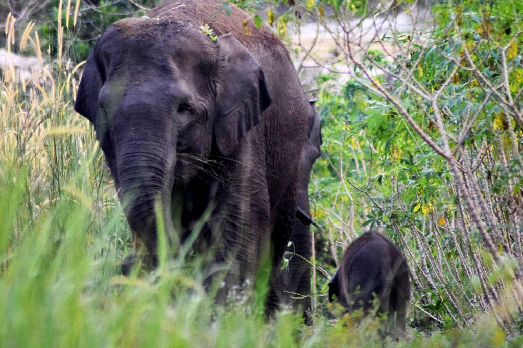 Gajah Liar Melahirkan di Balai Raja