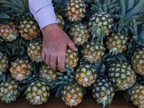 Ratusan kilogram kokain diselundupkan dalam buah nanas. (Foto: