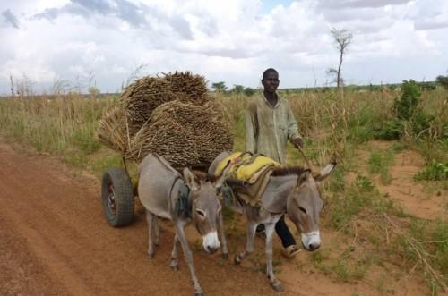 Seorang warga Niger membawa gandum dari ladang di tengah ancaman