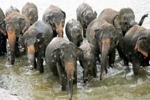 Polisi Batalkan Pengintaian akibat Dikejar Kawanan Gajah