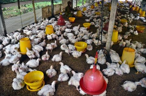 Peternak Ayam Setop Produksi