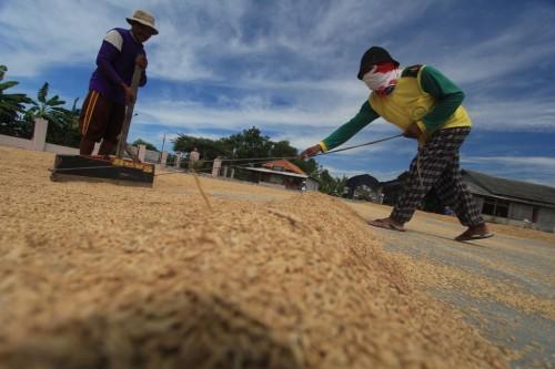 Ilustrasi gabah. (FOTO: ANTARA/Dedhez Anggara)