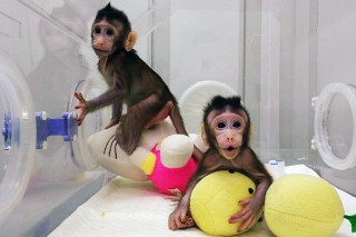 Ilmuwan Tiongkok Sukses Mengkloning Monyet