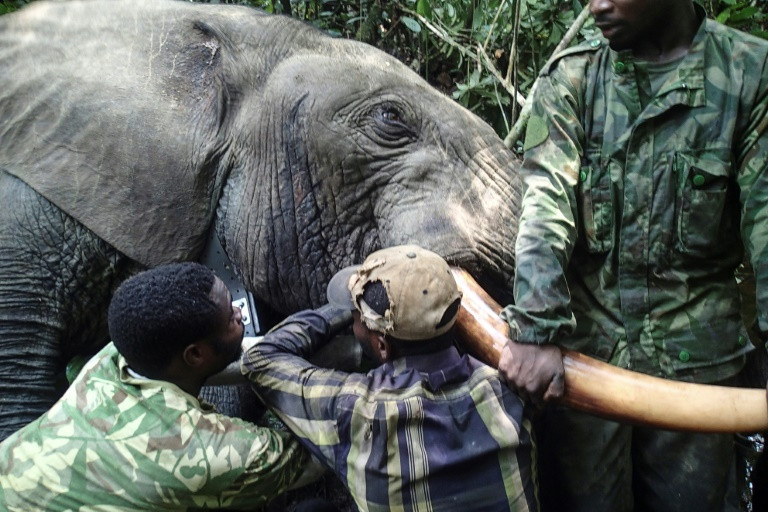 Gabon's national parks agency is bringing hi-tech to the equatorial forests of central Africa in a bid to save thousands of elephants from well-drilled and armed poachers. (Photo:AFP/ANPN/stringer)