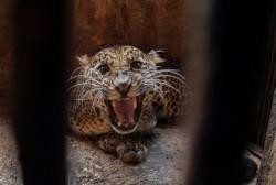 KLHK Kejar Pemburu Macan Tutul di Garut