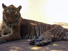 Hewan Buas di Kebun Binatang Venezuela Dibunuh karena Krisis