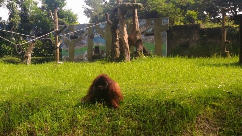 Pelempar Rokok ke Orangutan di Bonbin Bandung Segera Ditindak