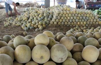 Kementan: Tidak Ada Impor Melon dari Australia