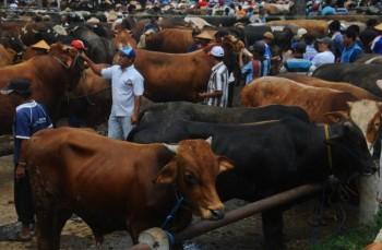 Wujudkan Swasembada Daging, Kementan Teliti Sapi Kembar