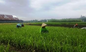 Luas Tanam Padi di Aceh Ditargetkan 507 Ribu Hektare