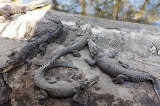 Sensasi Menegangkan Beri Makan Buaya di Crocodile Farm Miri