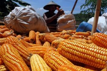 Target Ekspor Jagung Nasional Meningkat 538 persen