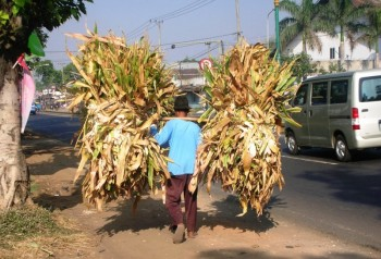 Limbah Jagung Sumbawa Dilirik Negara Lain