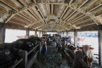 Pengembangan Agroeduwisata Dorong Usaha Sapi Perah