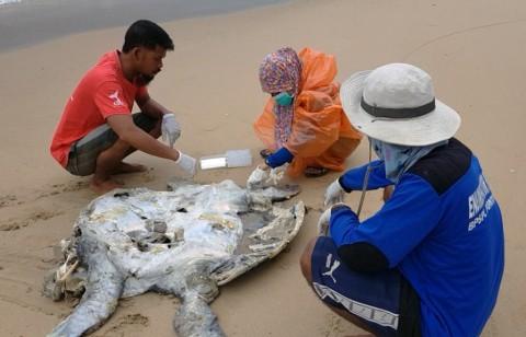 Kerusakan Lingkungan Diduga Penyebab Puluhan Penyu di Sambas Mati
