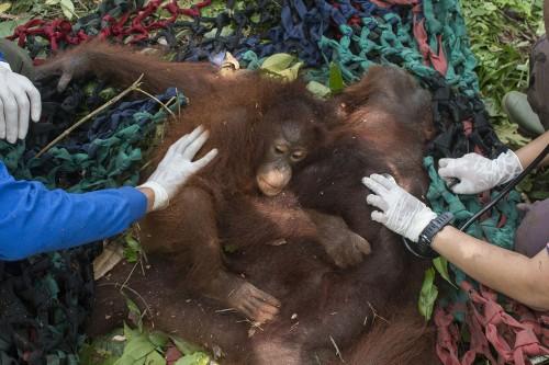 BKSDA Kalbar Translokasi Dua Orangutan dari Desa Tempurukan
