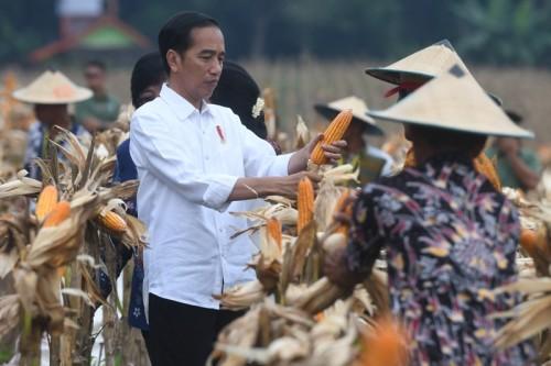 Presiden Joko Widodo saat panen jagung di Tuban, 9 Maret 2018