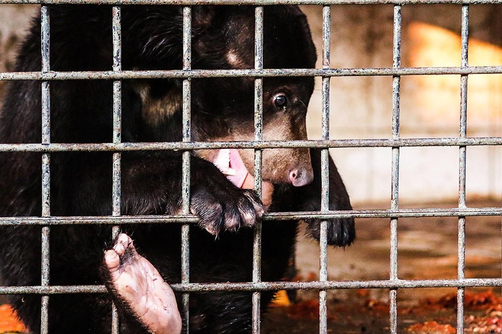 BKSDA DKI Translokasi Orangutan dan Beruang ke Kalteng untuk Dikarantina