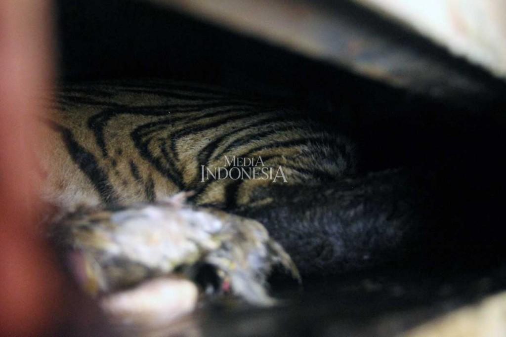 Setelah Ditangkap, Harimau Bonita Dibawa ke Dharmasraya