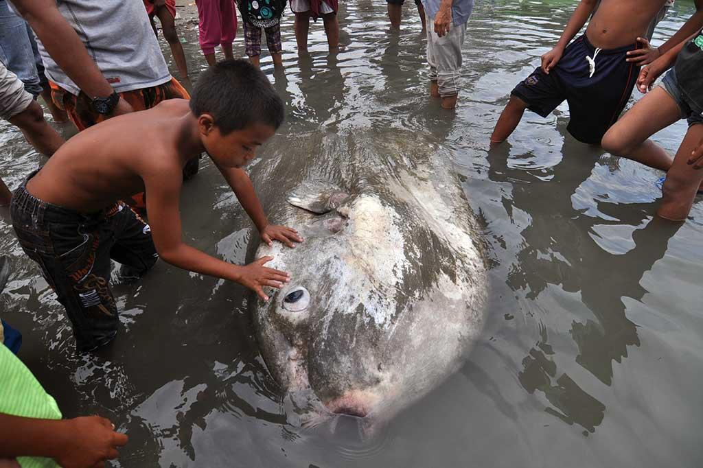 Mola Mola Mati Terdampar di Perairan Sulteng