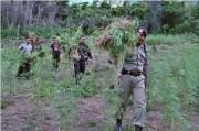 7 Hektare Ladang Ganja Ditemukan di Aceh
