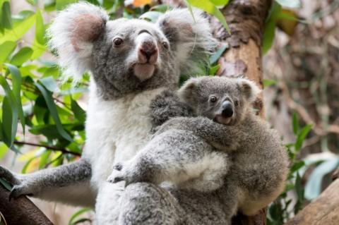 Australia Pledges Cash to Help Save the Koala