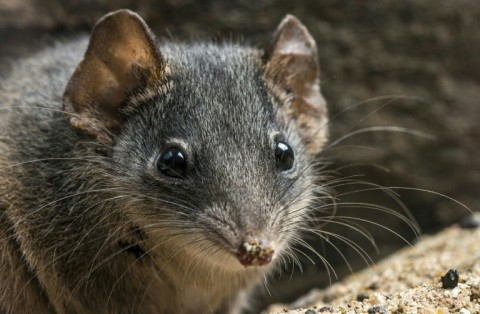The silver-headed antechinus: frenzied sex sessions are