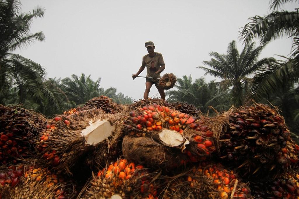 Ilustrasi sawit Indonesia. (FOTO: ANTARA/Regina)