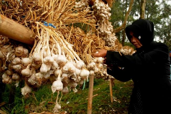 Ilustrasi bawang putih. Foto:Antara/Buddiyanto