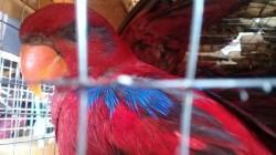 BBKSDA Jatim Gagalkan Penyelundupan 353 Burung Nuri