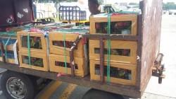353 Burung Nuri akan Dikembalikan ke Habitatnya