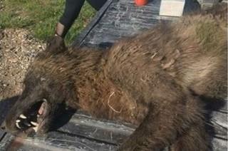 Makhluk Aneh Mirip Serigala Ditembak di Montana