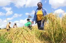 Mahasiswa UMM Ciptakan Pengayak Padi Ramah Lingkungan