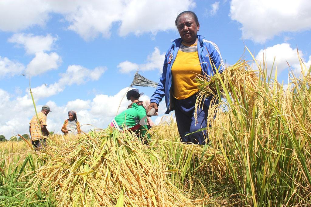 Petani melakukan panen perdana padi, di Persawahan Oepoi, Kota Kupang, Nusa Tenggara Timur (NTT), MI Palce Amalo.