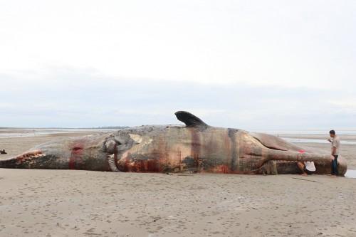 Sejumlah warga mengambil minyak paus sperma (Physeter