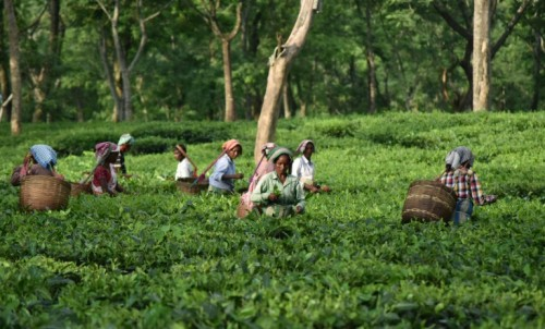 Indian tea farmers, many of them women, are scraping a living,