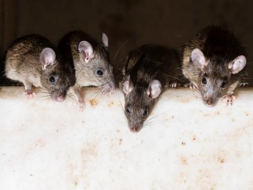 Ilustrasi tikus. (Foto: Getty Images).