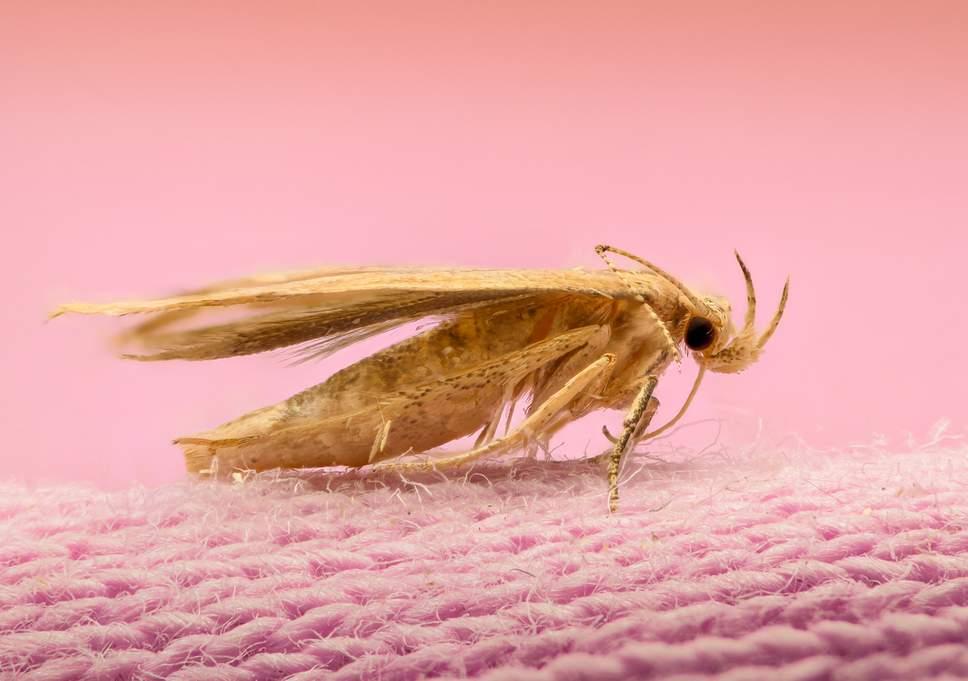 Musim Panas, Ngengat Senang Berkembang Biak dalam Pakaian (Foto: gettyimages)