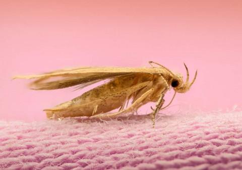 Musim Panas, Ngengat Senang Berkembang Biak dalam Pakaian