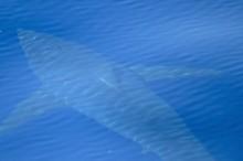 Pertama Sejak 30 Tahun, Hiu Besar Terlihat di Perairan Spanyol
