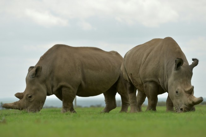Najin (Left) and Fatu are the only two northern white rhino known to be alive today - both are infertile females. (Photo:AFP/Tony Karumba)