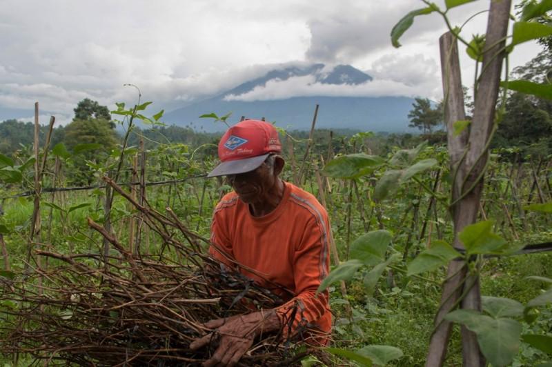 Seorang petani merawat kebunnya setelah sempat terkena abu Gunung Agung di Desa Sidemen, Karangasem, Bali, Jumat (1/12). ANTARA FOTO/Nyoman Budhiana.