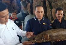 Warga Yogyakarta Diminta Serahkan Arapaima ke Balai Karantina