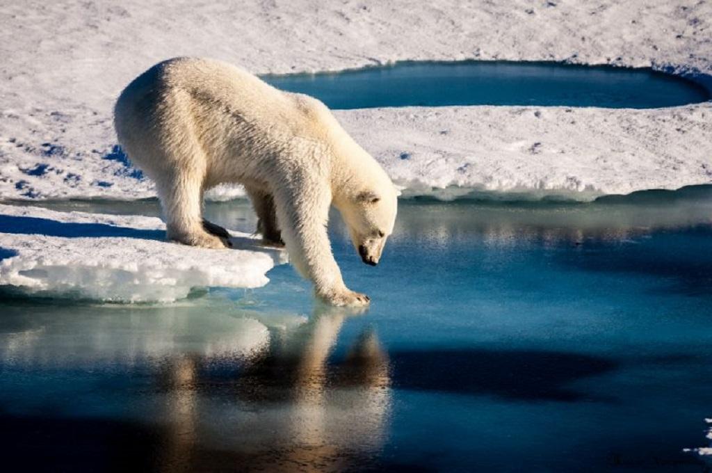 .Seekor beruang kutub (Foto: AFP Photo/Mario HOPPMANN)