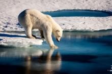 Lindungi Anak, Seorang Ayah Tewas Diterkam Beruang Kutub