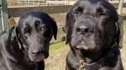 Anjing Peliharaan Minta Maaf  Usai Santap Makan Siang Kurir Pos