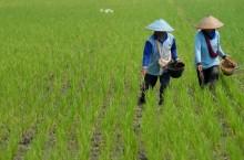 FAO: Ketahanan Pangan Indonesia Terancam